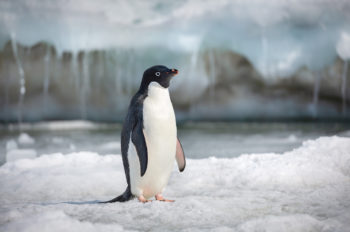 Disneynature's 'Penguins' Continues the Enduring Legacy of Conservation at The Walt Disney Company