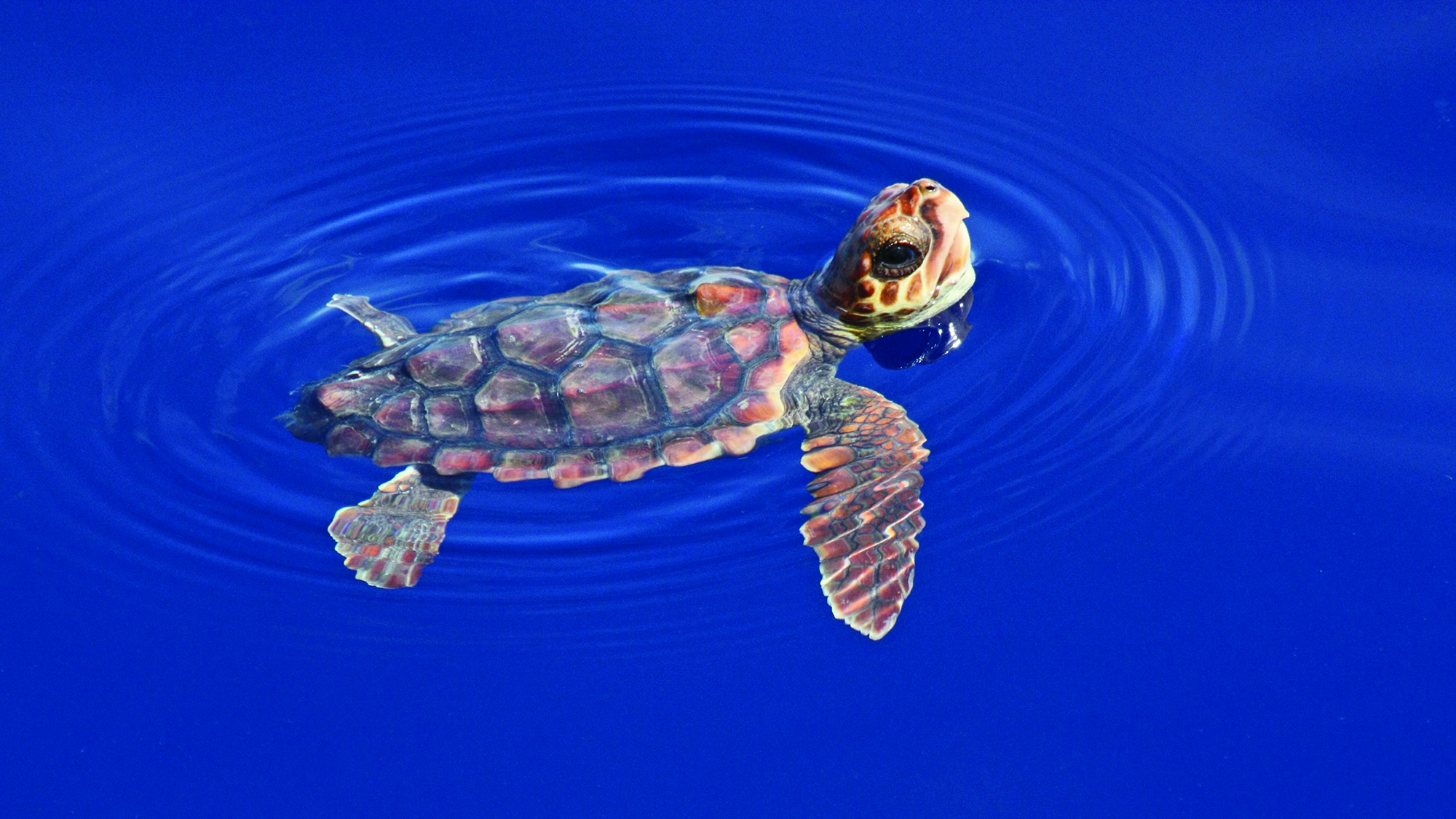 Saving Wildlife_WDW_ASE_Sea Turtles_Cc post hatchling deep blue IMG_1553_Cred Blair Witherington