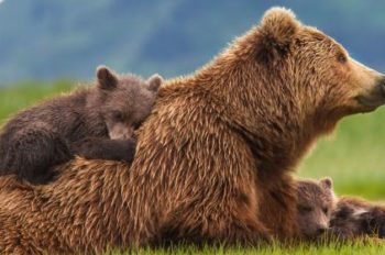Disneynature's 'Bears' Roars into Theaters Today